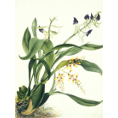 Samuel Holden - Orchid: Epidendrum Cochliatum and Oncidium and Raniferam (Framed) - Limited Edition Artworks at Kings Carpets and Interiors