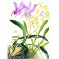 Samuel Holden - Orchid: Lelia Ancesis and Oncidium Citrinium (Framed) - Limited Edition Artworks at Kings Carpets and Interiors