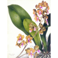 Samuel Holden - Orchid: Oncidium Lanceanum (Framed) - Limited Edition Artworks at Kings Carpets and Interiors